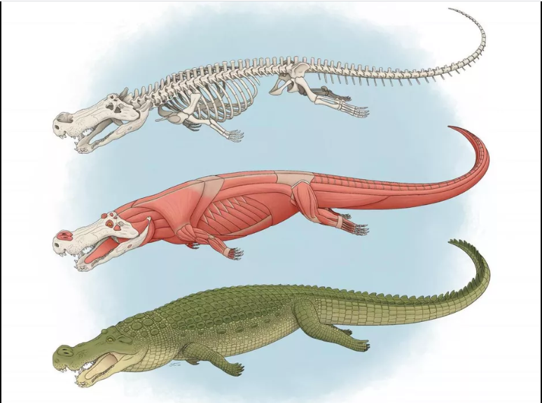 The earth was once home to 'horror crocodiles' almost the size of city buses