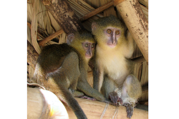 Researchers find new imperiled primate species, with just 260 remaining